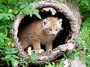 Canadian lynx kitten