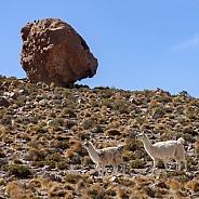 Llama - Atacama Desert - Chile