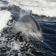 Bottle-nosed Dolphin (Tursiops aduncus)