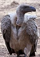Whitebacked Vulture - Zimbabwe