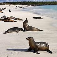 Galapagos Sea Lion - Galapagos Islands