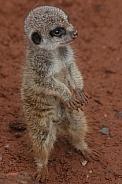 Baby Meerkat Standing Tall