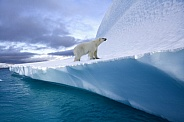 Polar Bear (Ursus maritimus) - Greenland