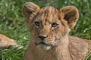African Lion Cub (Panthera Leo)