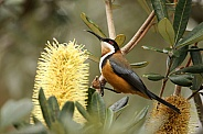 Eastern Spinebill (wild)