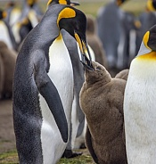 King Penguin feeding chick - Falklands