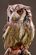 White Faced Owl