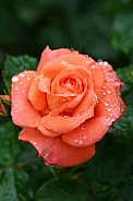 Orange Rose after a rain shower