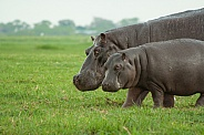 Hippo mother & daughter