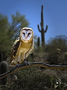 Barn Owl with Saguaro Background