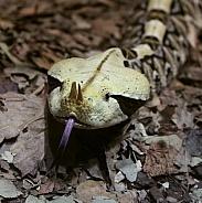 Gaboon Viper Snake
