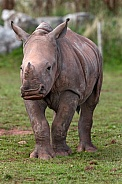 Young White Rhino Full Body Standing Alert