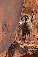 Big Horned Sheep looking