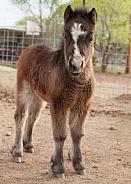 Equus ferus caballus, horse, pony