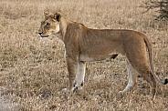 Lioness (Panthera leo) - Botswana