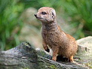 Yellow mongoose (Cynictis penicillata)
