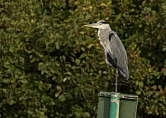 Grey Heron Perching