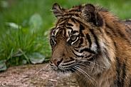 Sumatran Tiger Close Up