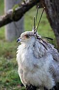 Secretary bird (Sagittarius serpentarius) Young
