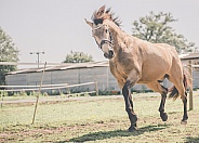 Cantering horse