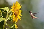 Mr. Ruby Throated Hummingbird and sunflower
