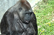 Western Lowland Gorilla with Baby