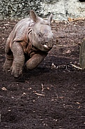 Indian rhinocero Calf