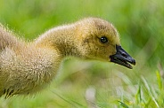 Goose Chick