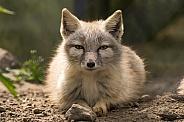 Corsac Fox (Vulpes Corsac)