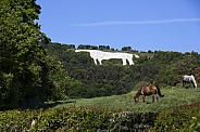 Horses in a meadow - White Horse