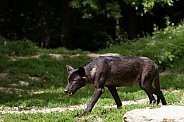 Young Grey Wolf in Dark Phase