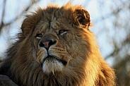 Sunlit African Lion