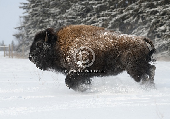 American Bison charging through the snow