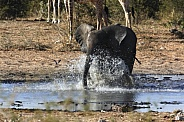 Young Elephant chasing birds at a waterhole - Namibia
