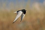 White winged black Tern