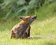 Red Fox (juvenile)