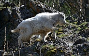 Mountain Goat Kid climbing the rocks