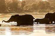 Elephant in the water during sunrise. Silhouette
