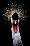 African Crowned Crane Portrait Close Up