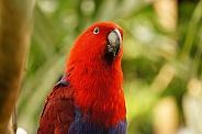 Elcectus parrot