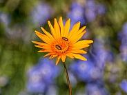 Ursinia chrysanthemoides