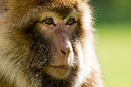 Barbary macaque face close-up