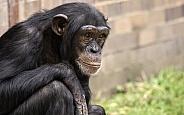 Chimpanzee Close Up Sitting