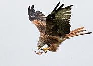 Wild Red Kite in Flight