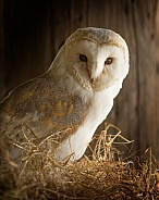 European Barn Owl Portrait in Barn