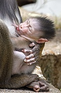 Mandrill (Mandrillus sphinx) with little baby, close up