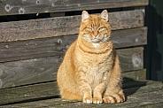 European shorthair (Felis catus)