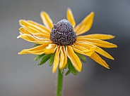 A Frosty Black-eyed Susan