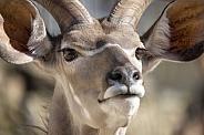 The greater kudu (Tragelaphus strepsiceros)