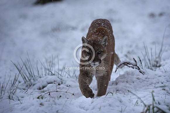 Cougar / Mountain Lion